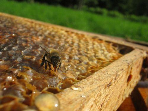 bee hive wax