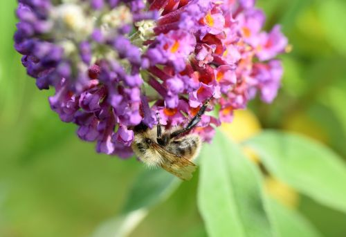 bee buddleja davidii animal