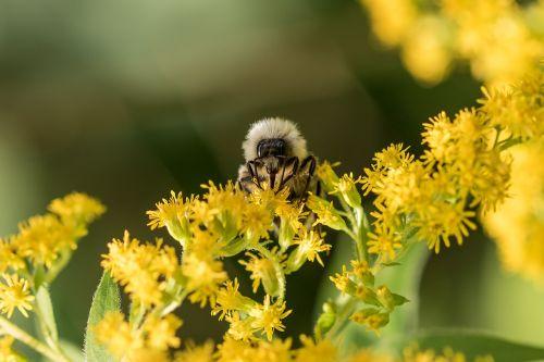 bičių,nektaras,apdulkinimas,vasara,miškas,makro,gamta,žiedadulkės,Uždaryti,vabzdys
