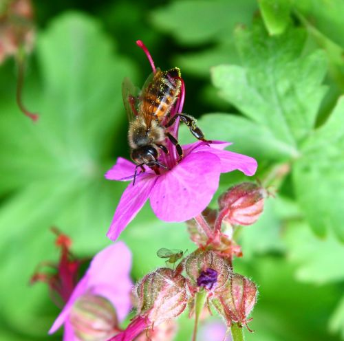 bee pollen floral pollen
