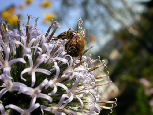 bee nectar blossom