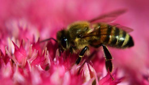 bee fat hen flowers