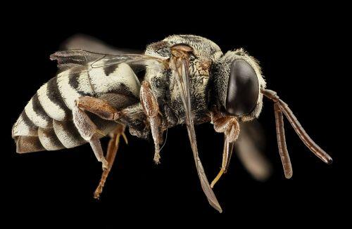 bee parasitic macro