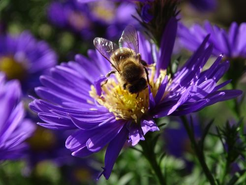 bee aster h