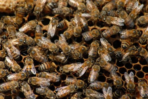 bee beekeeping insect