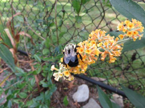 bičių,gėlė,geltona,vabzdys,sodas,žalias,augalas,makro,gyvūnas,gėlių,natūralus,apdulkinimas,apdulkinimas