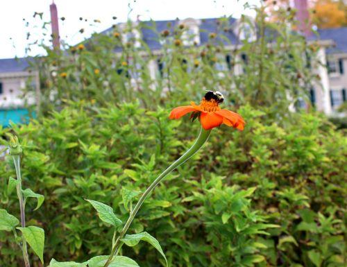 bičių,gėlė,gamta,apdulkinimas,medaus BITĖ,apdulkinimas,oranžinė,žalias,išplistų,sodas