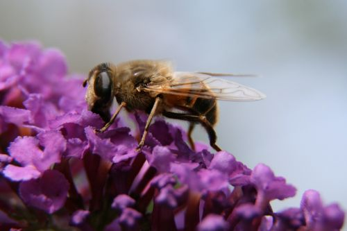 bičių,gėlė,gamta,makro,Alyva,vabzdys,žiedas,žydėti,augalas,pavasaris,žiedadulkės,sodas,medaus BITĖ,Uždaryti,pabarstyti,sunkiai dirbantis