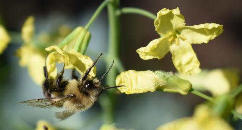 bee bumblebee flower yellow