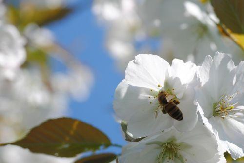 bee cherry blossom honey bee