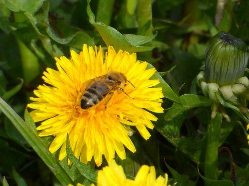 bee sonchus oleraceus flowers