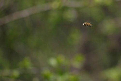 bee  insecta  flight