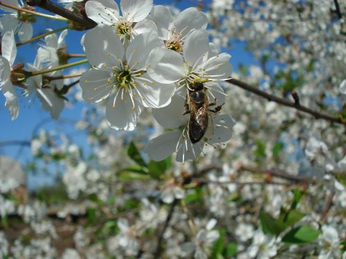 bee flowering tree cherry blossoms