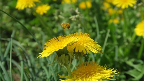 bee  spring  dandelions