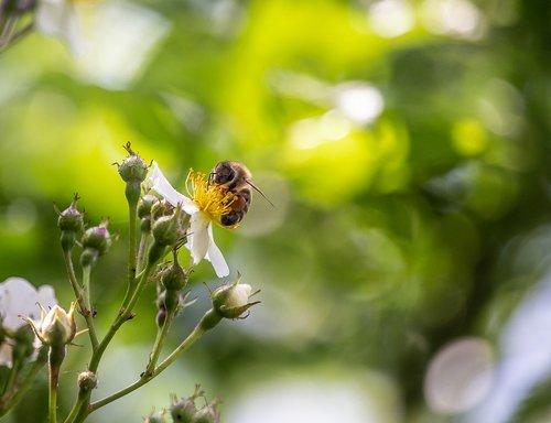 bee  wild rose  blossom