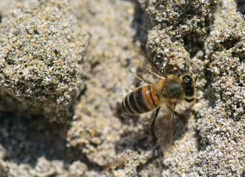 bee  sand  insect