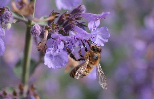 bičių, žiedas, žydi, vabzdys, gėlė, Iš arti, makro, žiedadulkės, nektaro, medaus BITĖ, gyvūnas, Violetinė