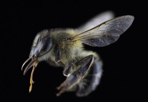bee  macro  black