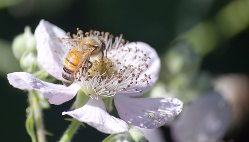 bee  insect  flower