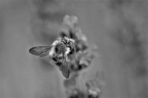 bee  lavender  black and white