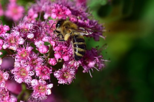 bee  collect  spierstrauch