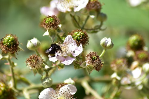 bee  blackberries  insect