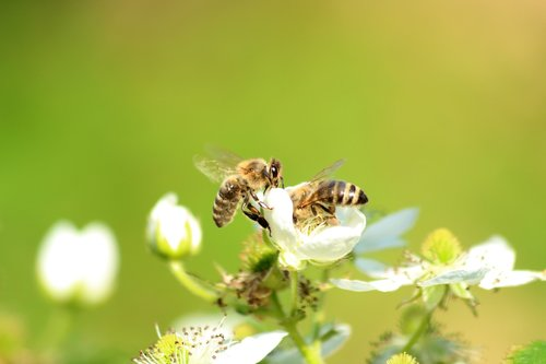 bee  pollinate  flower