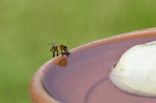 bee  honey bee  insect