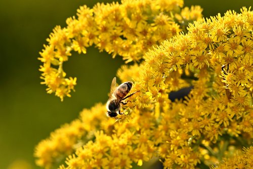 bee  insect  nectar