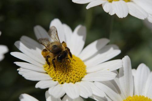 bee collect pollen pollen