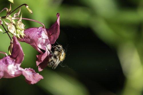 bee  balsam  pollen