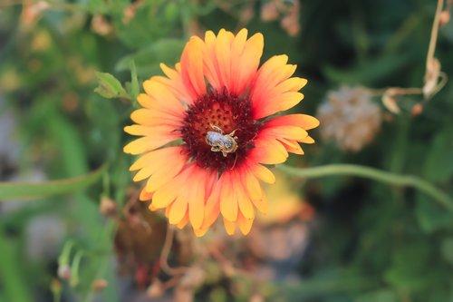 bee  pollinate  garden