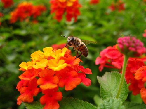 lantana bee flower