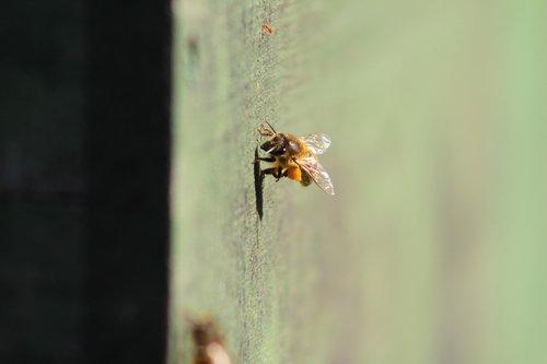 bee  prey  beekeeper