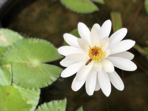 bee  nymphaea alba  white