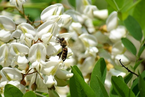 bee  black locust flower  honey bees