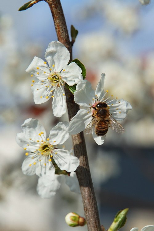 bee  flowers  apple blossoms