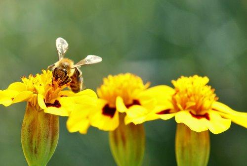 bee  marigold  pollination