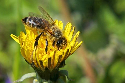 bee  insects  nature
