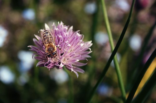 bee  insect  chives blossom