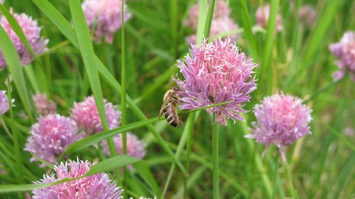 bee  chives  herbs