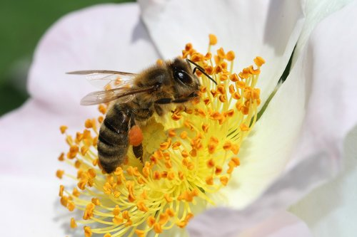 bee  flower  insect