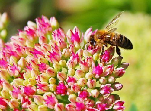 bičių,žiedas,žydėti,Uždaryti,vabzdys,sodas,geltona,apdulkinimas,augalas,flora,žiedadulkės,gamta,makro,žiedynas
