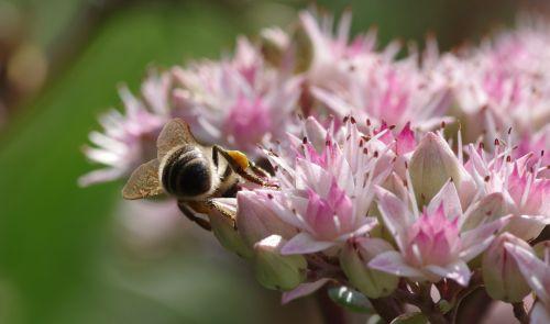 bee stonecrop pollen