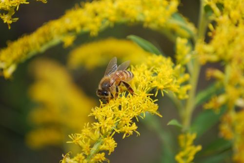 bee pollen insect