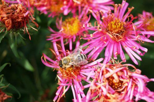 bee flower aster