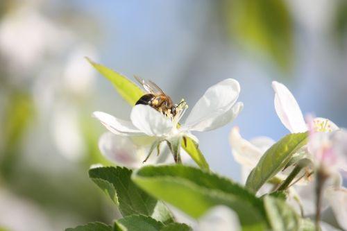 bee flower pollinate