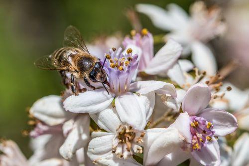 bičių,gėlė,žiedas,žydėti,medaus BITĖ,vasara,žiedadulkės,vabzdys,nektaras,frühlingsanfang,makrofotografija,sodas,makro