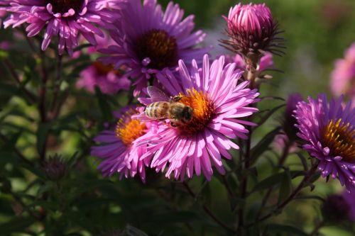 bičių,isp,žiedas,žydėti,rinkti žiedadulkes,rinkti nektarą,Uždaryti,makro