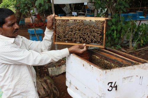 bee breeding india